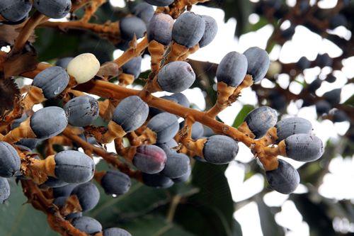 研究发现砂拉越黑橄榄的营养成份很高。