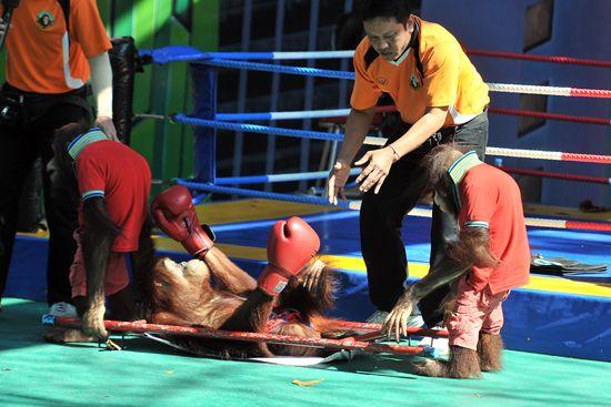 """落败选手被""""医务人猿""""给抬走。"""