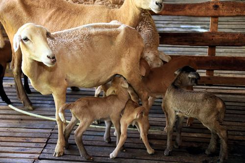 雌羊并不太喜欢哺育自己的孩子,将几只雌羊和小羊放在一块儿,反而增加存活机会。左为脐带未干的小羊。