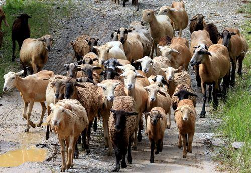 绵羊迫不及待奔向草原。