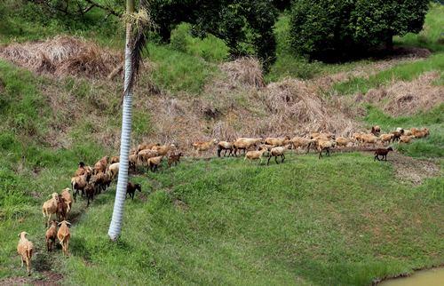 绵羊是群体生活动物,尽管青草美味,羊儿也不会脱离队伍。