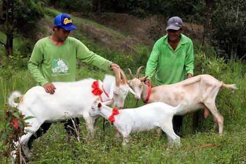 不比绵羊见人就跑开,Saanen Goat比较喜欢人类,喜爱和人类近距离接触。