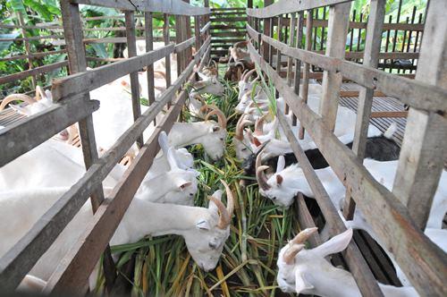 年长的羊主食是草。