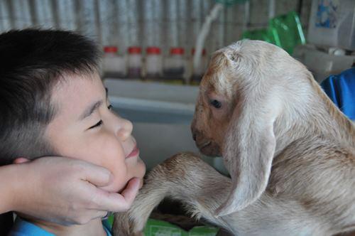 羊的适应能力很强,温驯且易于调教。
