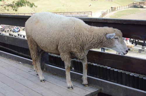 羊不怕生,与人类亲近。