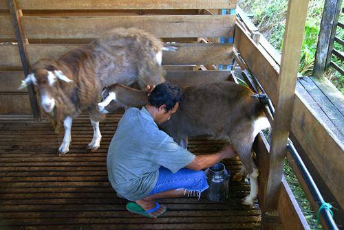 农场工友挤羊奶。郑家农场自产自销新鲜羊奶。