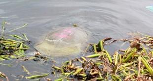 22公斤的巨鳖下水后缓缓游走。