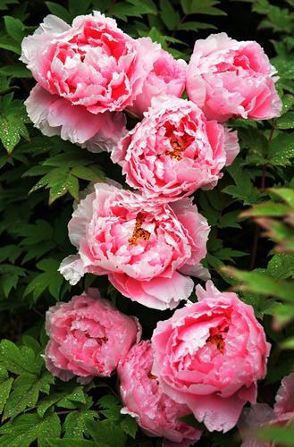 """牡丹即被称为""""富贵花""""。"""