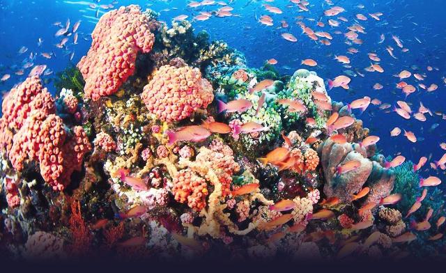 """蔚蓝莹透的海面下,栖息着全球近八成、逾600种以上的珊瑚品种,及约12艘第二次世界大战的沉船炮艇。许多专业潜水人称巴拉望为""""探险家们的终极群岛"""",这话其实一点也不夸张,绝美如澳洲大堡礁,也只有约400种珊瑚品种,科隆湾又怎能不令人为之神往?"""
