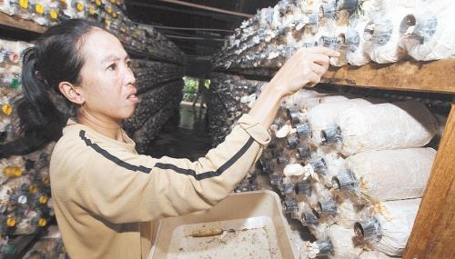 宝芝林菇园栽种了各式各样的菇类,包括灰蠔菇、白蠔菇、杏鲍菇、灵芝和木耳等。 (摄影:张真甄)