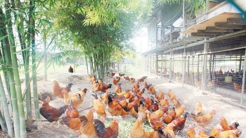 设立在鸵鸟参观园的文昌鸡农场,会让一些特定成年的文昌鸡和三黄鸡自由出入鸡寮。 (摄影:张真甄)