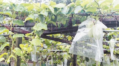 小瓢虫有机农场近两年来加种了大果百香果,產量不多,却是农场里珍贵且特別的水果种类。(摄影:张真甄)