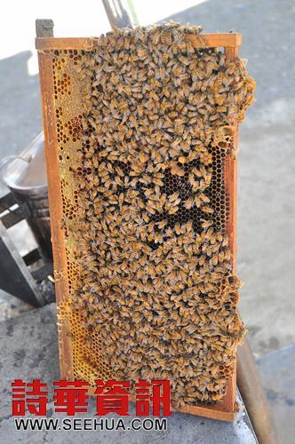 养蜂业都蜂巢设计成一片片,方便采集。