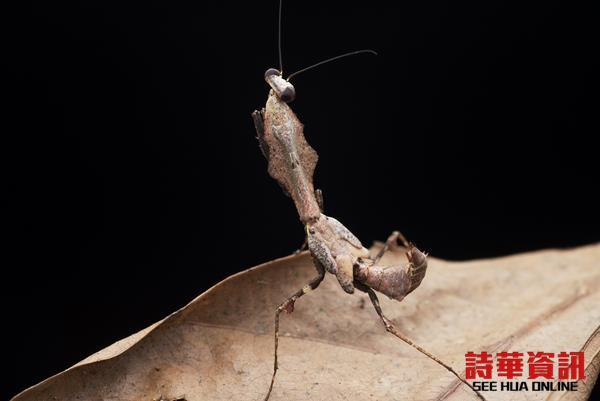 螳螂天然的体态充满隐蔽性,不仔细看根本就像一根枯枝。
