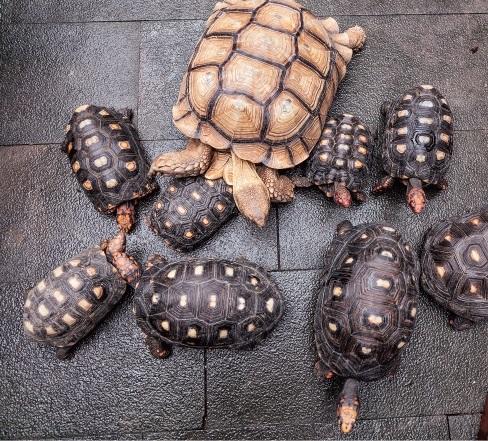 这只是乌龟家族中的其中一群。林我霖主要就是养体型较大的苏卡达象龟及樱桃红腿象龟两品种。