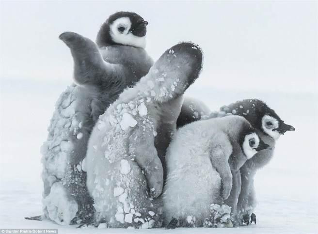 零下24度的风雪,让企鹅宝宝身上都是雪花。(每日邮报)