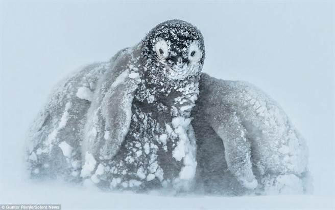 零下24度,企鹅宝宝冷到挤在一起把头埋起来。(每日邮报)