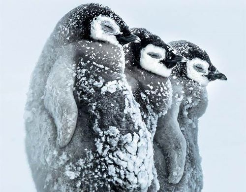 南极零下24度,挤在一起取暖的企鹅宝宝连眼睛都紧紧闭上。(每日邮报)