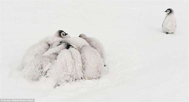 照片中有一只企鹅宝宝落单,让网友十分心疼。(每日邮报)