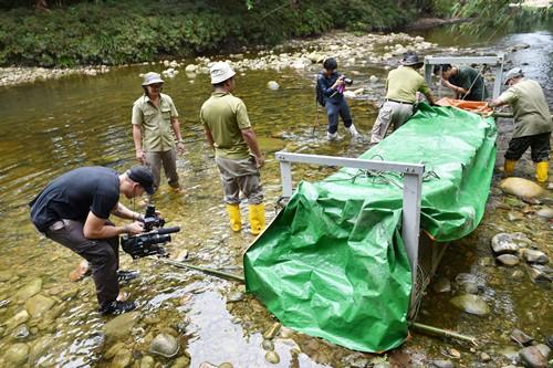 砂森林局在溪流捕获咸水鳄,罕见的生态现象也吸引了著名的外国媒体Discovery探索频道前来全程采访录影。