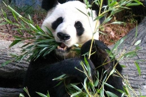 14600389977092-panda_eating