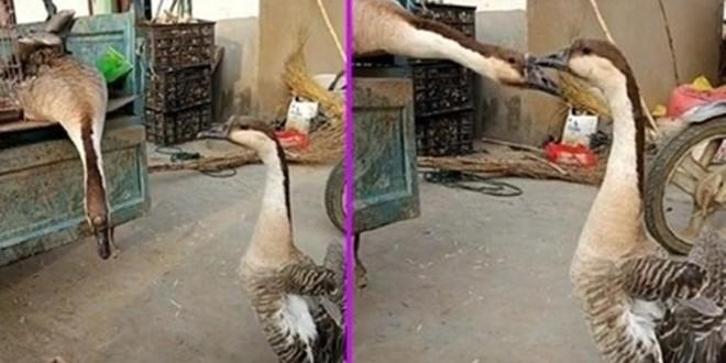兩隻鴻雁的行為感動主人。